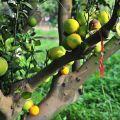 雲科生態休閒農場-農場內種植有許多柳丁照片