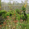 雲科生態休閒農場-農場種植的食草蜜源植物照片