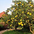 雲科生態休閒農場-結實纍纍的果樹照片