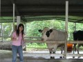 台東初鹿牧場-喝最新鮮的牛乳照片